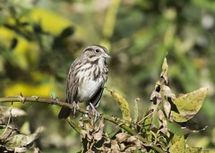 Song Sparrow (swmartz) Tags: birds outdoors nikon nature newjersey mercercounty trentonmarsh trenton