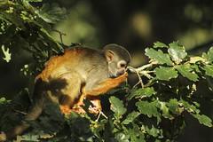 Squirrel monkey (Den Gilbert) Tags: wildlife animals monkeys sqirrel sqirrelmonkey nature woods trees photography leaves colour