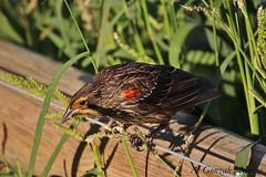 Tordo sargento / Red-winged Blackbird (Agelaius phoeniceus) (avgomo) Tags: usa unitedstates eeuu estadosunidos chicago illinois fauna aves birds tordo blackbird