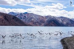 IMG_0921 (Archna Singh Photography and Design Studio) Tags: canon ladakh zanskar jammukashmir khardungla rohtang tsokar india nature tropicaldesert buddhism