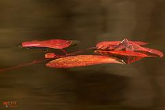 ''Le cycle de la vie!'' (pascaleforest) Tags: feuilles automne autumn couleur color passion kayak nikon nature eau water