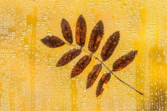Leaves on my Window (Karen_Chappell) Tags: leaf leaves autumn fall nature rain raindrops water waterdrops yellow brown bokeh window orange october newfoundland nfld stjohns rainy weather
