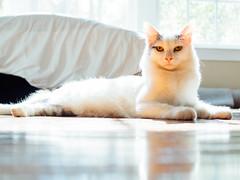 Chip (Garen M.) Tags: buttercup chip maverick olympuspenf zuiko25mmf18 cats companionanimals dogs