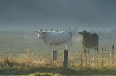 On a misty morning (joeke pieters) Tags: 1300682 panasonicdmcfz150 koeien cows cattle gelderschlandschap woold hijink winterswijk achterhoek gelderland nederland netherlands holland landelijk rural pastoral mist foggy landschap landscape landschaft paysage platinumheartaward