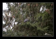 Great Blue Heron (the_coprolite) Tags: heron coquitlam portcoquitlam bc britishcolumbia hoycreek lafargelake canada nikon d750 sigma 150600mm