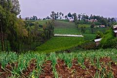 Welsh onion (Allium fistulosum L) farm field (elly.sugab) Tags: farm farmfield farming onion village bromo ranupani bawang plant field
