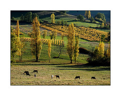 Entendez-vous la musique ? (eric_47) Tags: automne vigne lotetgaronne aquitaine france peuplier jaune vert cheval campagne ruralit paysage autumn vineyard green yellow horse countryside rurality landscape loubesbernac