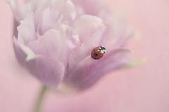 Little red one (Stilting) Tags: flowers tulp stilting pink nikon700 nikon macro ladybug