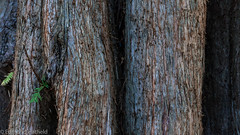 _MG_3114.jpg (shyto) Tags: dawnredwood cambridge edmondhatfield facebook easternredwood flickr mountauburn