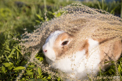 IMG_1790.jpg (ina070) Tags: animals canon6d cute grass outdoor outside pets rabbit rabbits
