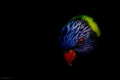 Lori (Stphane Slo) Tags: france lori pentax pentaxk3ii printemps rhne rhnealpes animal nature oiseaux painting parcdesoiseaux proxi villarslesdombes