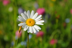 Summer Flower (EP Diederiks) Tags: austria karnten carinthia nature natuur flower summer sommer zomer bloem margriet daisy sun