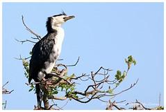 Little Shag. (Petera3015) Tags: birds waterbird shag