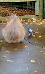 capaybara 2 (alison.ryan74) Tags: pigeon capybara