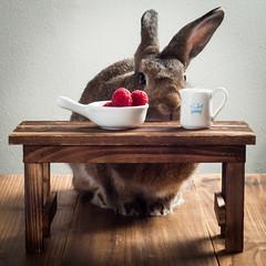 Life Decisions (Jeric Santiago) Tags: animal bunny conejo hase kaninchen lapin pet rabbit raspberry winterrabbit