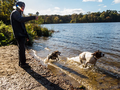 A small terrier chases Max as he chases his cone (Julia Livesey) Tags: autumn chris family max springerspaniel virginiawater england unitedkingdom gb