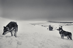 DSCF5648 (Chris Wolffensperger) Tags: c1 greatphotographer greenland tasiilaq arctic winter snow village dogs polar northern light aurora fuji x fujifilm xseries xpro2 monochrome bw black white