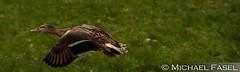 Flying Duck (mikefox0202) Tags: ente duck fliegen tier animal gras flucht wildpark schweinfurt wildente geflügel