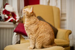 Eyeing the Xmas decorations on the mantel (m1hoff) Tags: tabby ginger cute whiskers mischievous nikon voigtlander cats