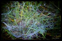 Morgentau - Spinnweben... (birgitzehnder) Tags: morgentau
