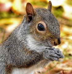 Grey Squirrel Posing (AngelVibePhotography) Tags: mammal grey greysquirrel nature squirrel gray nikon photography animal closeup macro northcarolina outdoor fluffy autumn nikonp900