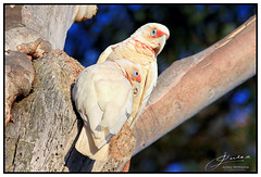 Paired Long-Billed Corellas (juliewilliams11) Tags: birds photoborder outdoor tree texture wildlife corella newsouthwales australia beak native