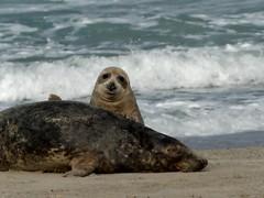 hi babe  (BrigitteE1) Tags: hibabe robben seals helgoland heligoland deutschland germany nordsee northsea strand beach meer sea brandung surf specanimal
