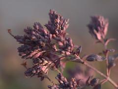 dried ornamental oregano (d2roberts) Tags: ornamentaloregano moodynature winterscaping purple frozenintime macro bokeh nature