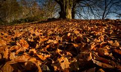 The Fallen (cliveg004) Tags: raggedstonehill malvernhill hollybush fallenleaves thefallen metaphor golden oak nikon d5200