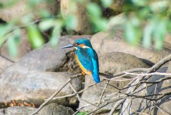 Kingfisher (Changer4Ever) Tags: nikon d7200 nikkor bird animal life nature kingfisher color colorful outdoor bokeh dof depthoffield feather wings rock sunshine sunlight sunny light bright wild wildlife