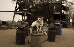 11/12 Nadja (utski7) Tags: 12monthsfordogs2016 nadja goldfieldghosttown superstitions arizona fall winter 2016
