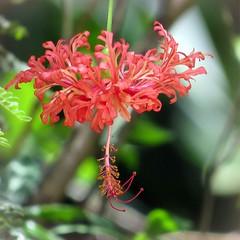 Nature's Ballerina (Japenese Lantern Flower / Hibiscus Schizopetalus) (Pixi2011) Tags: flowers flora nature