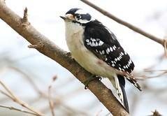 downy woodpecker  female at Lake Meyer Park IA 854A3178 (lreis_naturalist) Tags: downy woodpecker female lake meyer park winneshiek county iowa larry reis