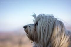 Concentrated (buchsammy) Tags: 2016 bitzer buchsammy fullframe havanese havaneser hund hüfingen mika märz ralf sony sonyalpha7r sonyfe55mm18sonnartza tier vollformat animal dog ralfbitzerphotography ralfbitzergmxde