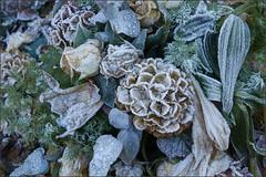 Frozen bouquet  (in Explore) (Bert Kaufmann) Tags: begraafplaats cemetery frozen bevroren boeket bouquet ijs ice freezing koud cold maastricht tongerseweg frozenbouquet explore explored