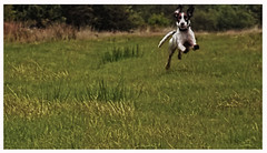 Jump (thetartaneevee) Tags: dog photography jumping kings raploch chrles