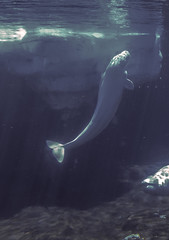 Beluga Whale (phnrested) Tags: aquarium phone cellphone lg whale beluga g3 seaworld lgg3