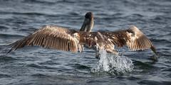 Galapagos-20140714-1650-BK2W4086 (Swaranjeet) Tags: pelican pelicans galapagos ecuador bird largebirds july2014 canon fullframe 1dx eos1dx dslr sjs swaran swaranjeet swaranjeetsingh sjsvision sjsphotography swaranjeetphotography 2014 eos canoneos1dx 35mm ef pro 200400 canonef200400mm canonef200400mmf4lisusm14x singh photographer thane mumbai india indian