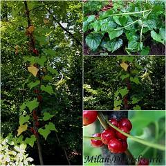 bljut, Pleivica (mdunisk) Tags: kuk plod cvijet cvijee biljka tamuscommunis biljke kotari samoborskogorje pleivica bljut mdunisk parkprirodezumberackosamoborskogorje kukovina kainogroe crnaloza