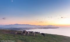 Muh! (Flotschie1976) Tags: ocean blue sunset sky orange moon mountains yellow coast cows meadow atlantic es spanien cantabria sanvicentedelabarquera 2015