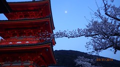 Une semaine  Kyoto au Japon - Cerisiers en fleurs (yoxpo) Tags: temple kyoto tofukuji gion kinkakuji kiyomizudera ryoanji higashihonganji hanami nanzenji tenryuji ginkakuji toji chionin kodaiji nishihonganji ninnaji honenin okochisanso daikakuji shimogamoshrine fushimiinarishrine eikandozenrinji kamigamoshrine cerisiersenfleurs fortdebambous chteaunijo pavilliondor parcmaruyama pavilliondargent palaisimprialdekyoto 1semainekyoto aquariumdekyoto cheminduphilosophe itinerairedevisitekyoto visiterkyoto voyagekyoto