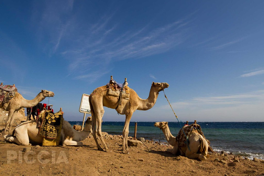 The world 39 s best photos of camel and mask flickr hive mind - Camel dive hotel ...