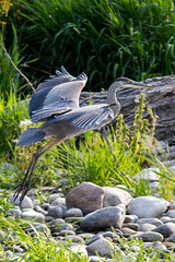 Landing (begineerphotos) Tags: bird heron flying wings blueheron birdinflight birdlanding beginnerdigitalphotographychallengewinner