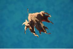373 - so fall... (Ata Foto Grup) Tags: blue autumn fall water pool swim fly leaf su mavi yz endofsummer havuz turquise kuru yzme sonbahar yaprak turkuaz umak kuruyaprak