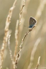 Argus du matin (Mariette80) Tags: papillon isre argusbleu