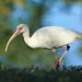 White Ibis Walking