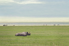 Desperate measures (Khurram Khan...) Tags: ilovenature wildlife desperate ngorongoro rhino ilovewildlife iamnikon worldrhinoday khurramk khurramkhan