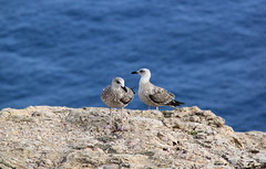 Cabo de So Vicente, Algarve (Kristel Van Loock) Tags: seagulls portugal shore algarve atlanticocean oceanoatlntico portogallo zeemeeuwen capestvincent cabodesovicente southernportugal southofportugal capsaintvincent zuidportugal kaapsintvincent