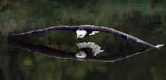 Can you see my reflection?  (Bald Eagle) Explored by wrpryde - Some people use mirrors I use the water.