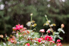 (Josh Meek) Tags: flowers autumn roses plant flower fall rain rose canon garden 50mm virginia rainyday bokeh canonrebel rosebush 50mm18 portra160 kodakportra kodakportra160 filmemulation mastinlabs